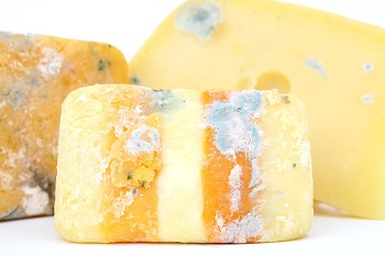 bacteria in cheese