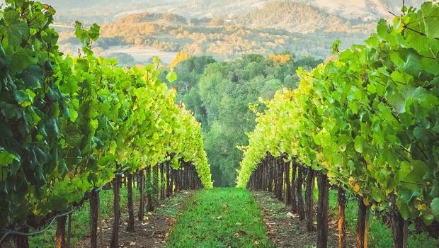 Croatian Wines - Vineyard 3